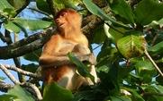 Aside sarawak proboscis monkey