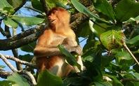 Index sarawak proboscis monkey