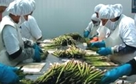 Index processing asparagus peru large