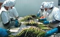 Index processing asparagus peru large
