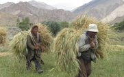 Aside ladakhi farmers with  barley harvest large