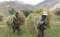 Index ladakhi farmers with  barley harvest large