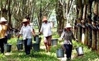 Index rubber trees   yunnan china large