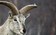 Index 426 sheep