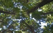 Aside 426 redwood