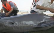 Aside 426 finless porpoise