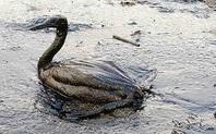 Index oiled bird 426