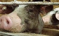 Index pig farming 426