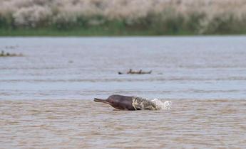 Aside r5n2pf ganga river dolphin