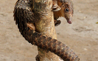 Index pangolin