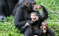 Index ape family