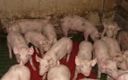 Aside pig farming