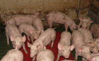 Index pig farming