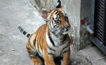 Index south china tigers