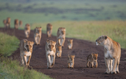 Aside african lionesses  panthera leo    hi 287384 meitu 1