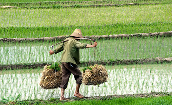 Aside cntkhr paddy rice farming in china