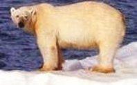 Index polar bear