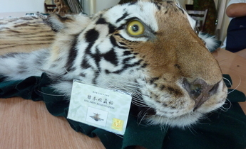 Aside a permit and a tiger skin rug in xiafeng taxidermy  china  c  eia