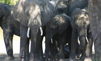 Index 5092 2005 04 zambia slcs dozing elephants 02 to be confirmed according to filename 700x466