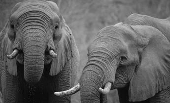 Aside elephants on the path to extinction