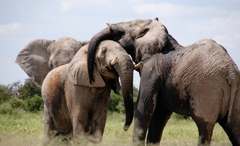 Index africa elephant
