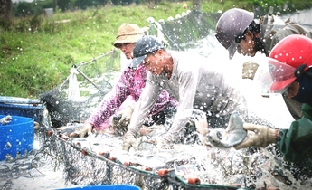 Aside tilapia harvest by han han meitu 1