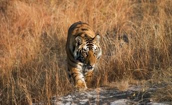 Aside juvenile male bengal tiger  c  elliott neep  www dot elliottneep dot com