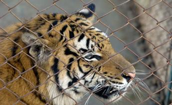 Aside axpkc7 chinas tiger farms