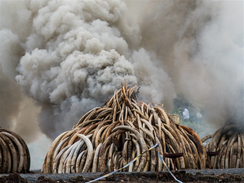 105 tonnes of ivory and onetonne of rhino horn burn in Nairobi National Park in April 2016. They were set ablaze in the largest ivory burn in history. (Image byMwangi Kirubi)