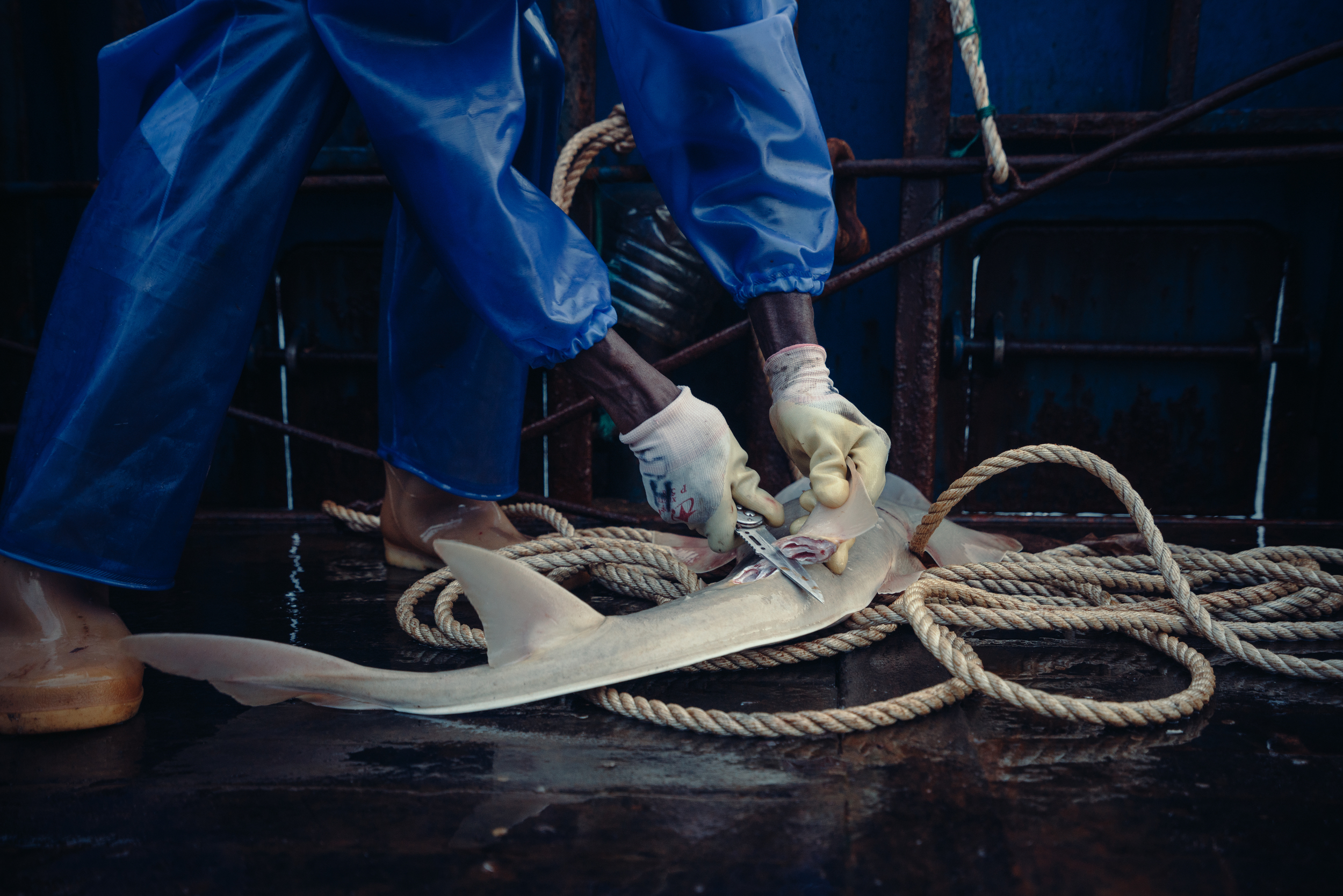 sailor cutting fins of a guitar fish