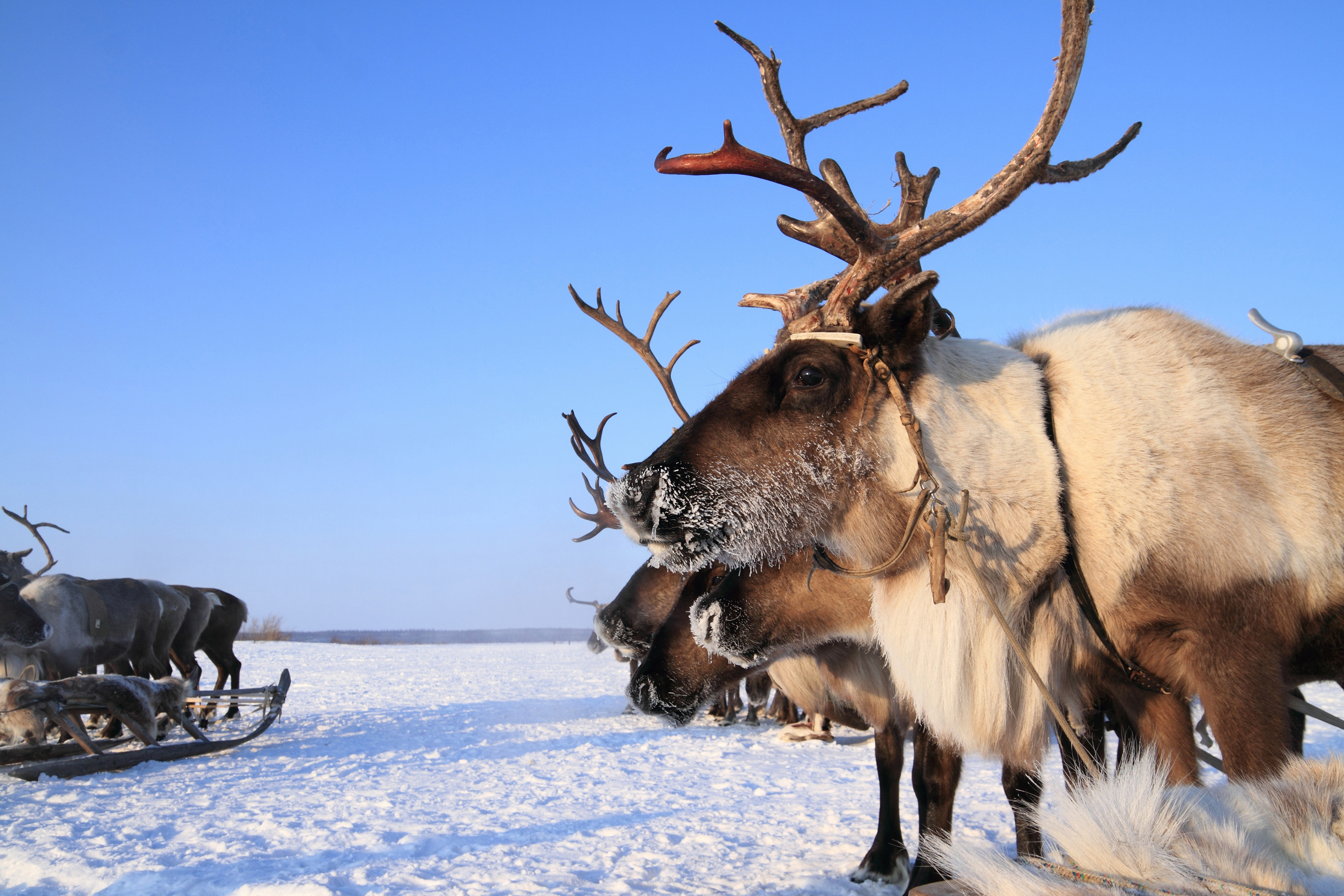Reindeer in the Yamal Peninsula