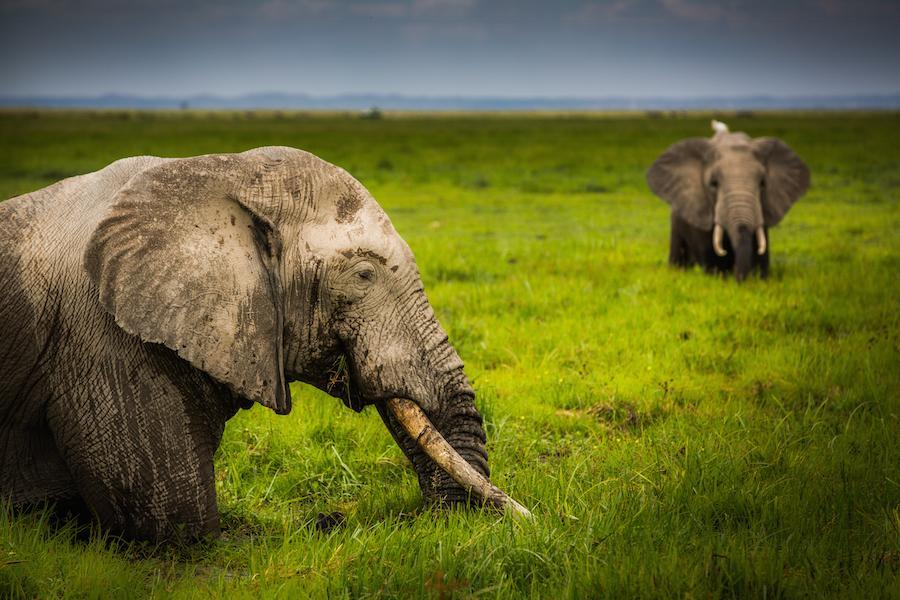 African elephants graze in Amboseil National Park, Kenya