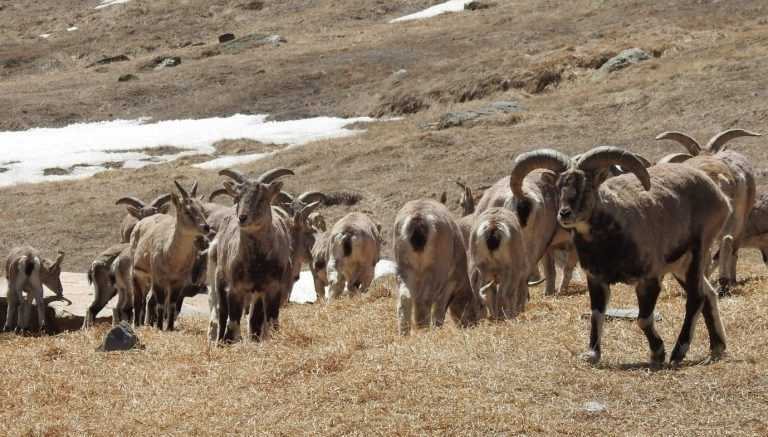 https://www.thethirdpole.net/wp-content/uploads/sites/3/2019/01/Enigmatic-fauna-Blue-sheep-or-Bharal-of-the-caterpillar-fungus-habitat-Ranjana-Pal-1024x582.jpg