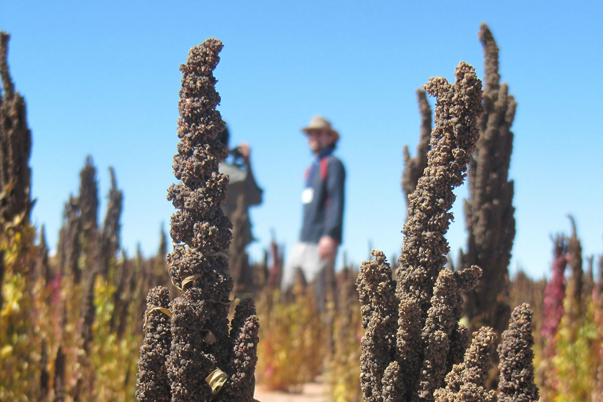 Black royal quinoa from Oruro. Photo by CIQ