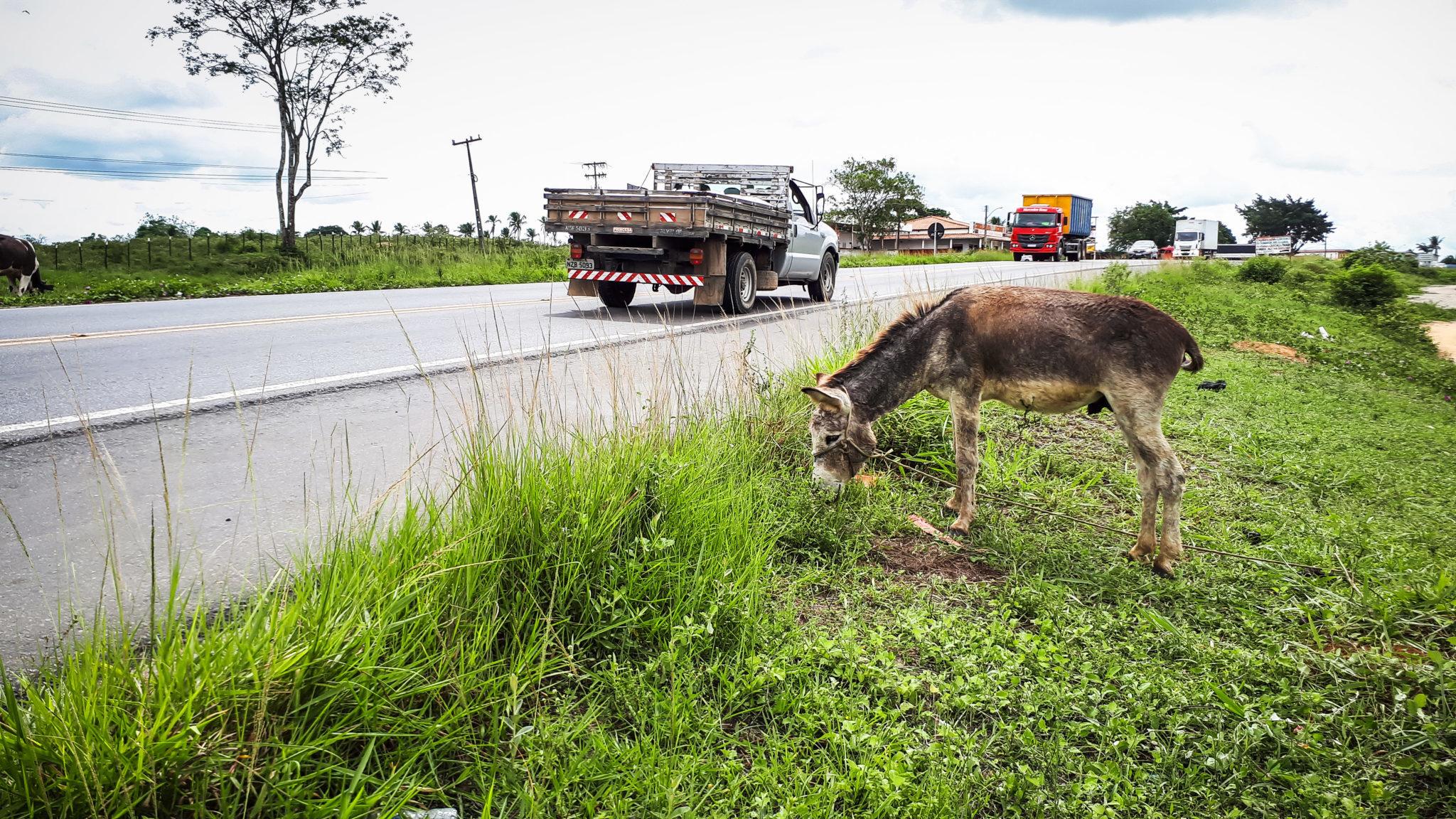 A donkey grazing at the side of the highway of Pernambuco, Brazil.