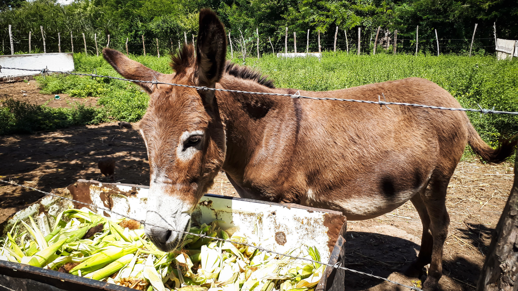 Female donkeys in Carpina are used to produce milk.
