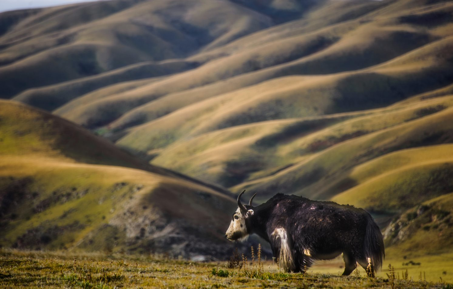 A yak on the Tibetan plateau