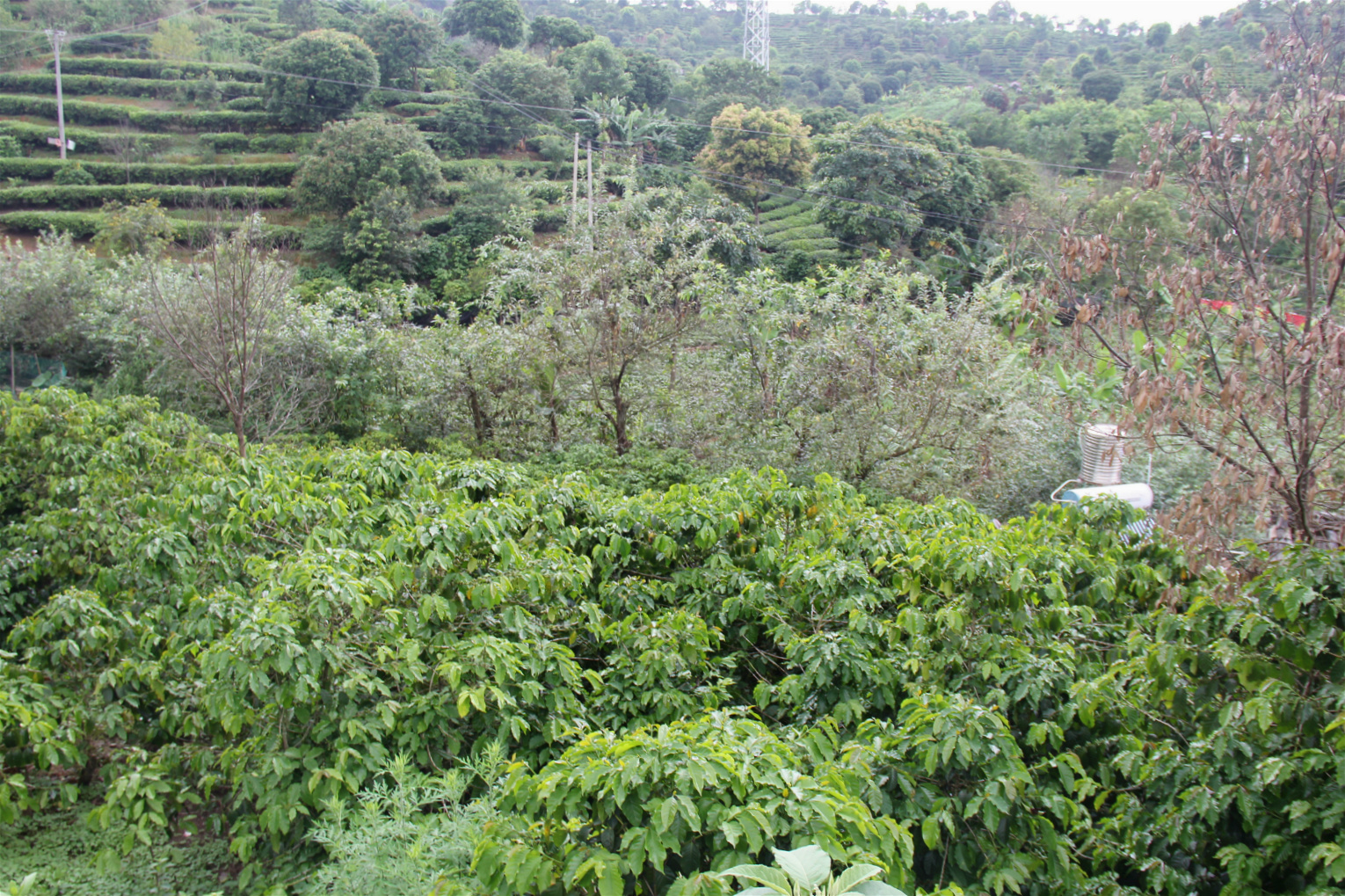 Sun-grown coffee trees in the mountains of Pu'er, Yunnan province, China