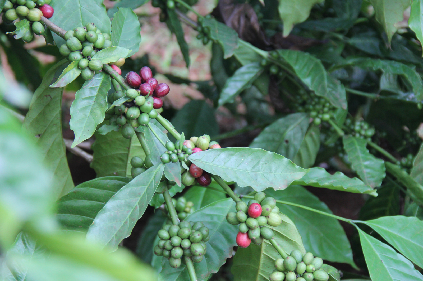 Coffee cherry in Eban's coffee farm