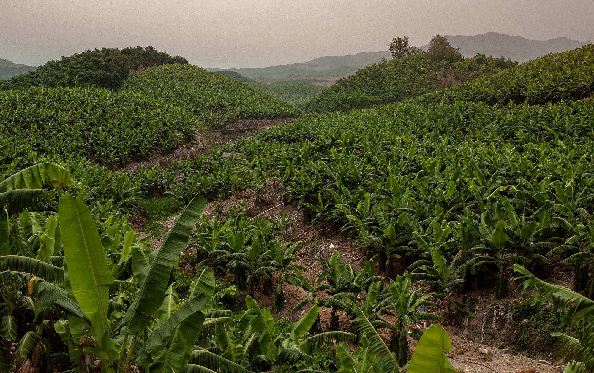 The Bokeo banana plantations are mostly located in the hilly area where the local people used to grow rice and collect wild foods (Image: Visarut Sankham/China Dialogue)