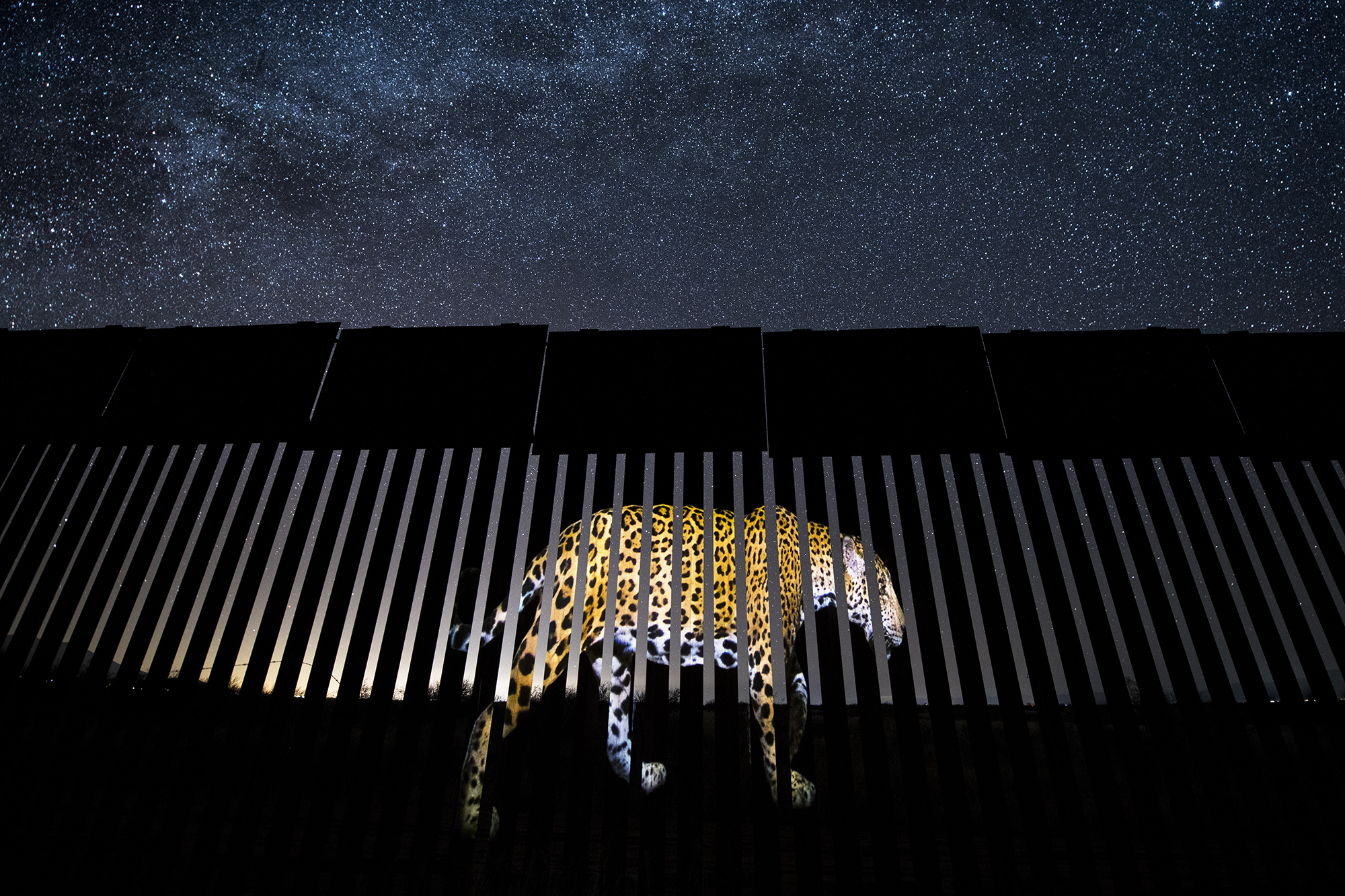 Under a luminous star-studded Arizona sky, an enormous image of a male jaguar is projected onto a section of the US-Mexico border fence