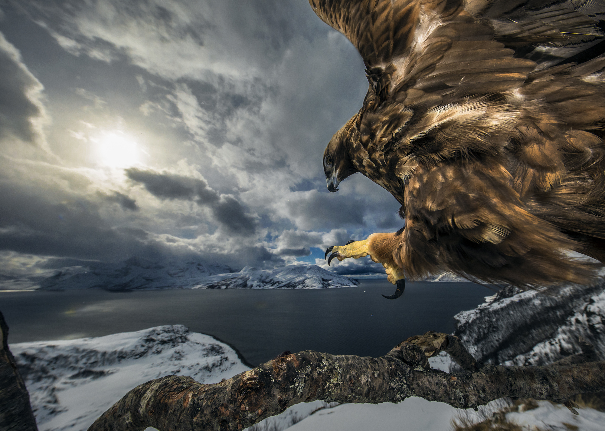 Golden eagles in northern Norway