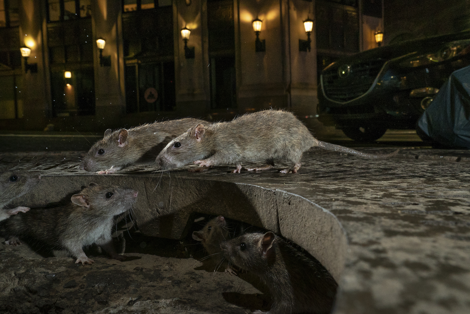 brown rats in Pearl Street in New York's Lower Manhattan