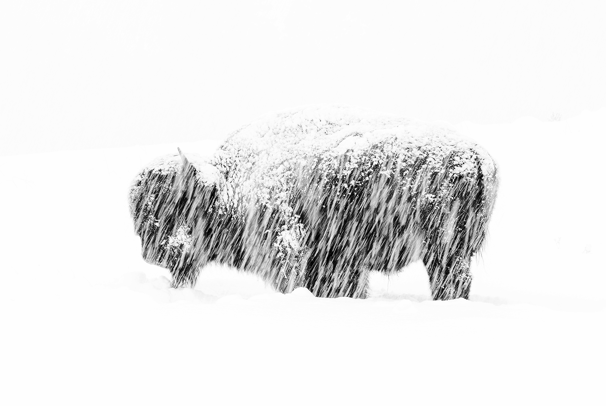 In a winter whiteout in Yellowstone National Park, a lone American bison stands weathering the silent snow storm