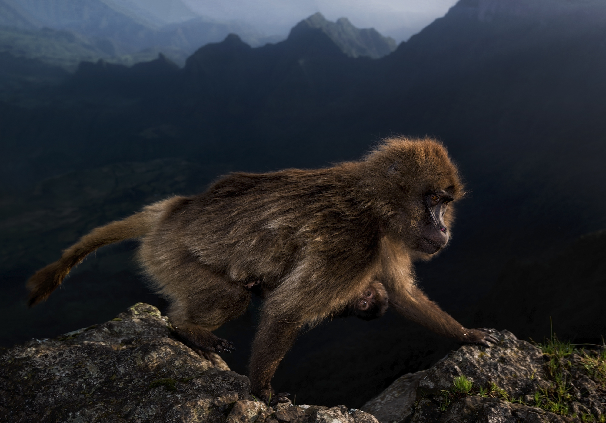 Geladas are a grass‑eating primate found only on the Ethiopian plateau