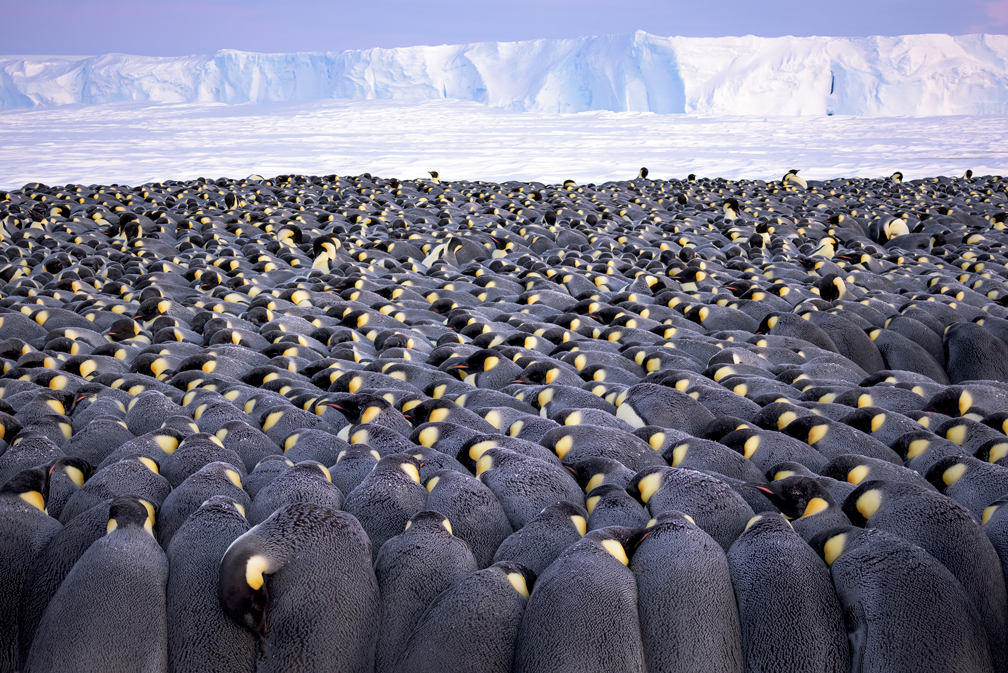 More than 5,000 male emperor penguins huddle against the wind and late winter cold on the sea ice of Antarctica's Atka Bay, in front of the Ekström Ice Shelf
