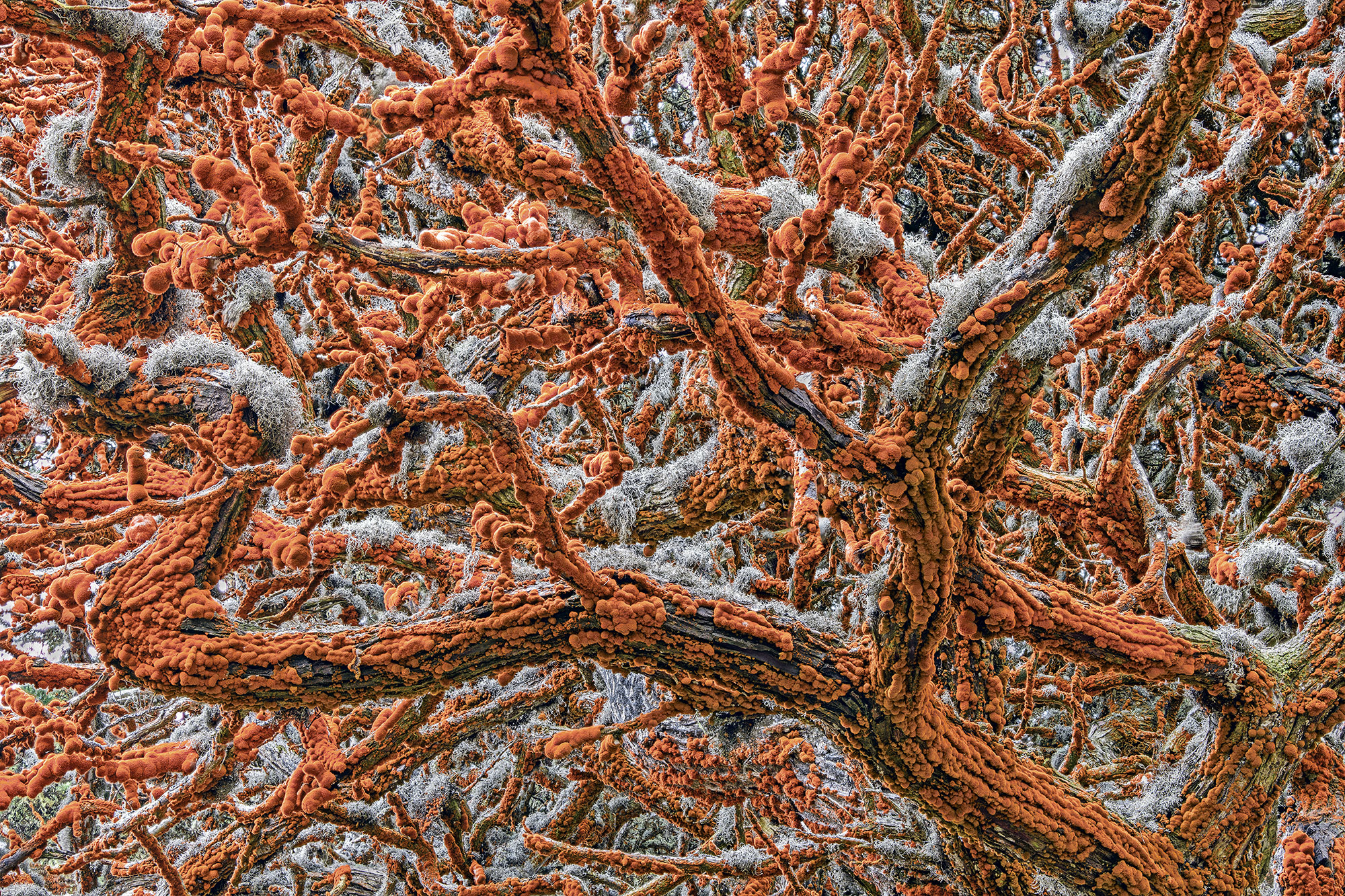 Festooned with bulging orange velvet and trimmed with grey lace, the arms of a Monterey cypress tree weave an otherworldly canopy over Pinnacle Point, in Point Lobos State Natural Reserve, California