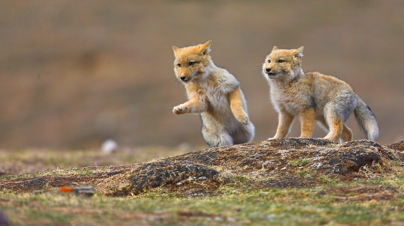 a pair of Tibetan fox cubs playing