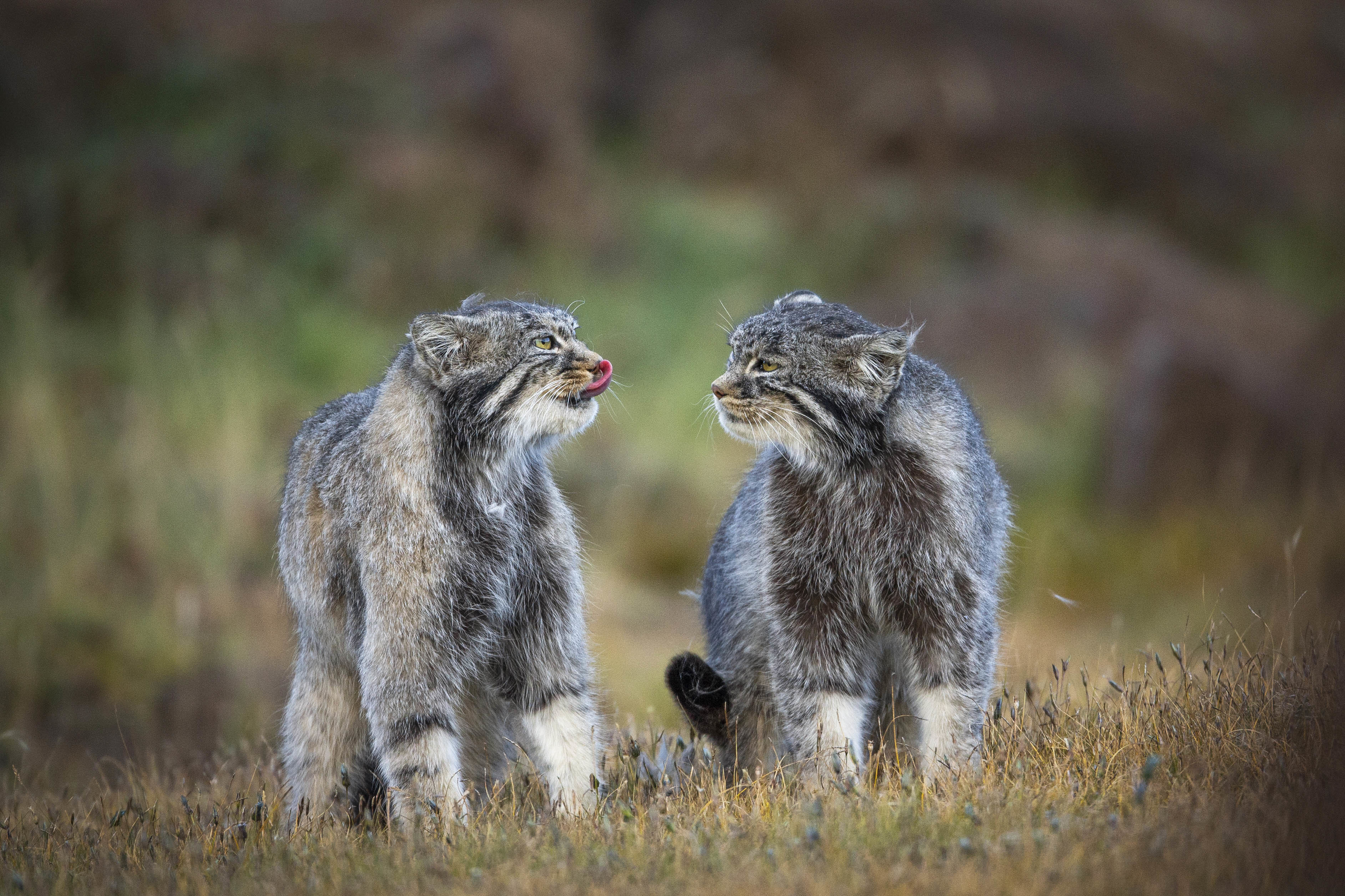 The Steppe cat shares a habitat with the tibetan fox