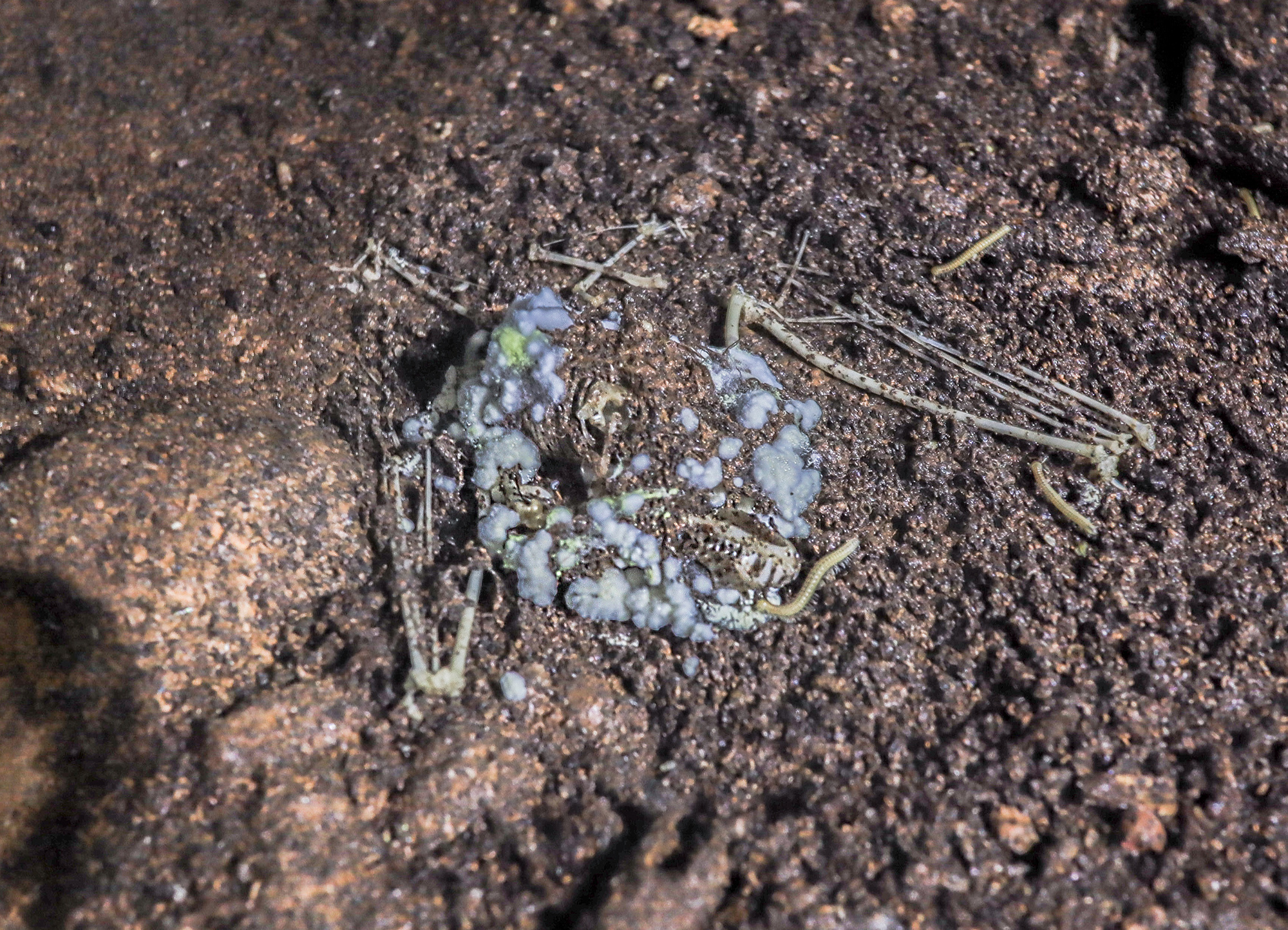 The carcass of a horseshoe bat covered in fungi in Yunnan's Swallow Cave
